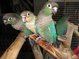 Turquoise Green Cheek Conures, Including a Yellow Mutation